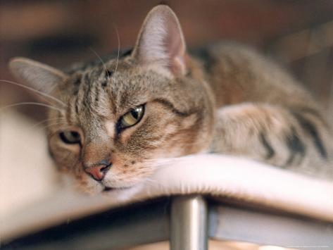 Close-up of Cat Photographic Print