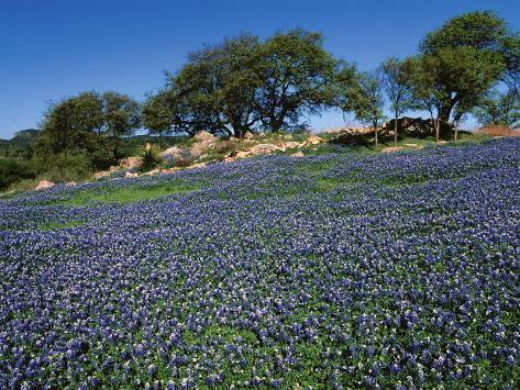 Bluebonnets, Hill Country, Texas, USA Photographic Print