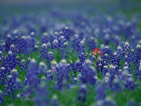 Bluebonnets, Hill Country, Texas, USA Valokuvavedos