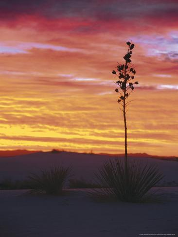 Yucca Plant, White Sands, New Mexico, USA Photographic Print