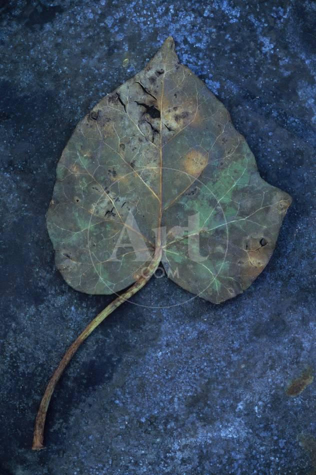 Close Up of Brown Autumn or Winter Leaf of Ivy or Hedera Helix Lying on  Tarnished Metal