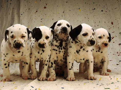 Dalmatian Puppies Photographic Print By Dennis Degnan At Allposterscom