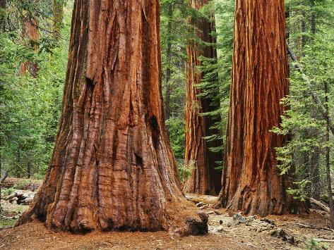 Close-Up of Sequoia Trees in Forest, Yosemite National Park, California, Usa Photographic Print
