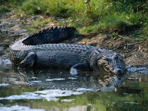 Saltwater Crocodile on Waters Edge, Kakadu National Park, Australia Photographic Print