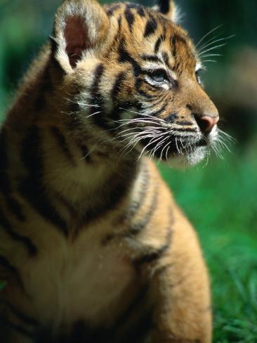 Sumatran Tiger Cub at Taronga Zoo, Sydney, Australia Photographic Print