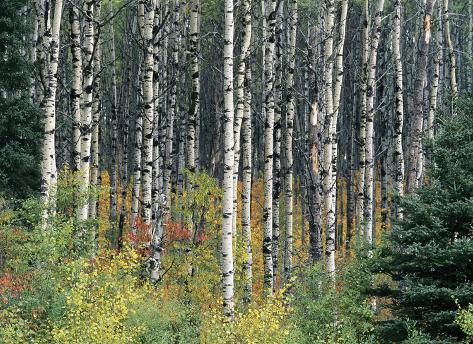 Autumn Birch Stretched Canvas Print