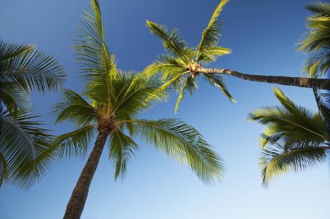 Hawaii, Lanai, Hulope Beach, Plam Trees from Below Photographic Print