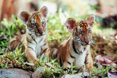Deux Freres Two Brothers De Jeanjacquesannaud Avec Les Petits Tigres Kumal, Sangha, 2004 Foto