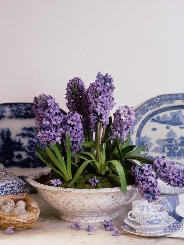 Purple Hyacinth Potted in a Ceramic Bowl Photographic Print