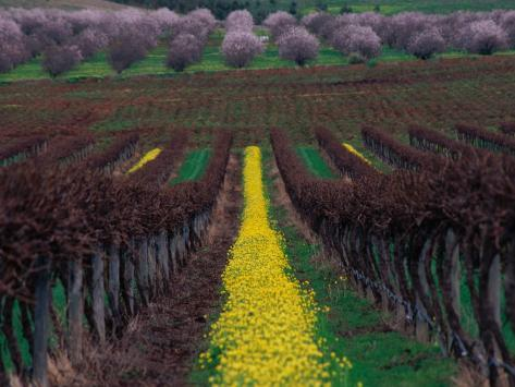 Vineyards and Almond Trees in the Mclaren Vale District, Australia Photographic Print