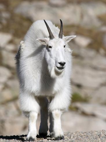 Mountain Goat, Mount Evans, Rocky Mountains, Colorado, USA Photographic Print