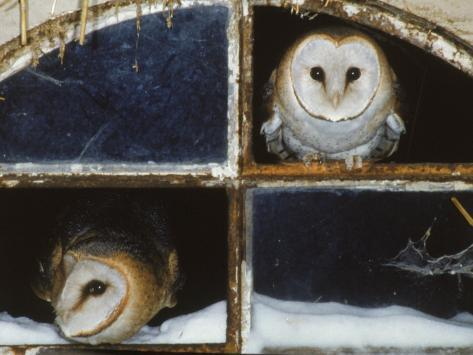 Barn Owls Looking out of a Barn Window Germany Photographic Print