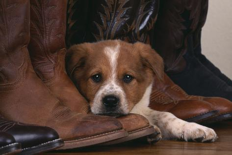 Australian Cattle Dog Puppy Lying Next To Cowboy Boots Photographic