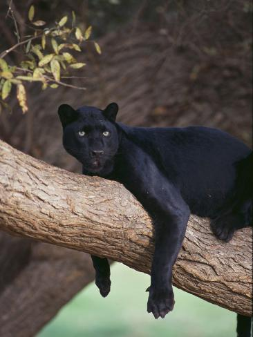 Black Panther Sitting On Tree Branch Photographic Print By