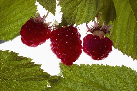 Plush Raspberries Photographic Print