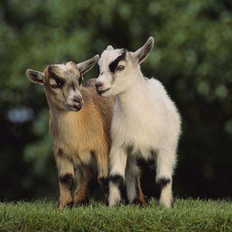Pygmy Goats Impressão fotográfica