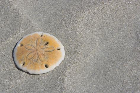 Sand Dollar Photographic Print