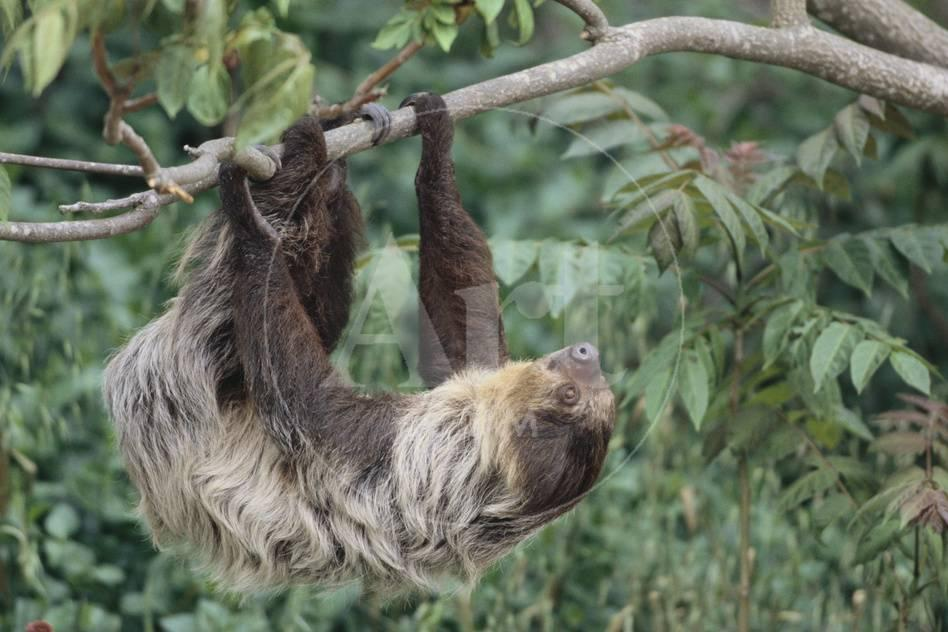 two toed tree sloth hanging from tree photographic print by dlillc