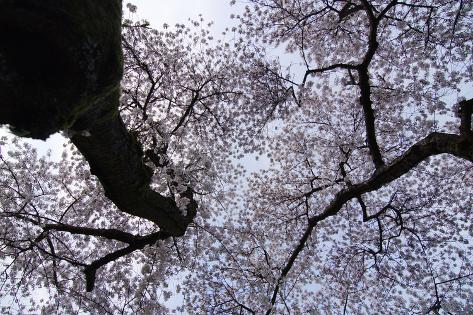 Blooming Cherry Trees Spike the Sky Photographic Print