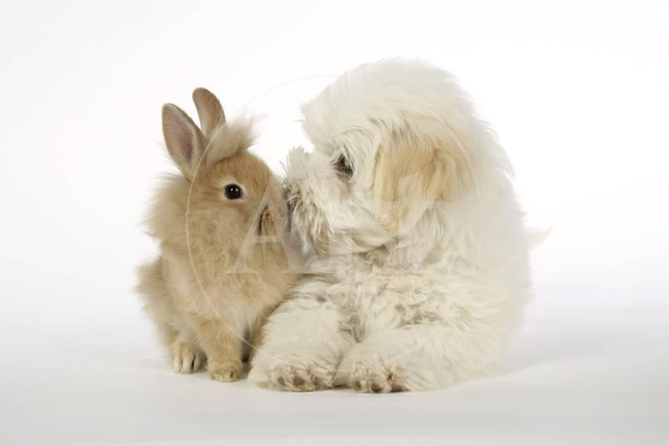 Dog And Rabbit Coton De Tulear Puppy 8 Wks Old Photographic Print