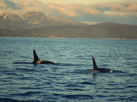 Killer Whales Research, Wintertime, Tysfjord, Arctic, Norway, Scandinavia, Europe Photographic Print