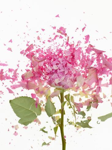 Exploding Pink Rose Valokuvavedos