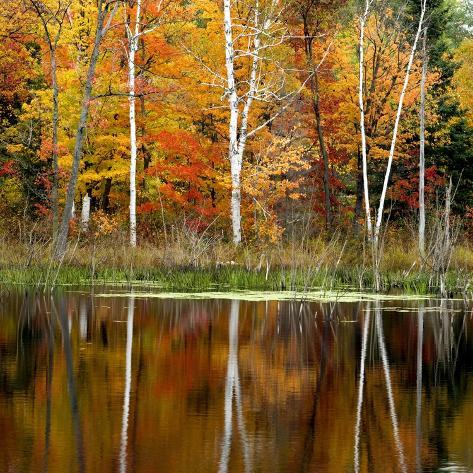 Autumn Colour Reflected in a Beaver Pond, Point Au Baril, Ontario, Canada. Photographic Print