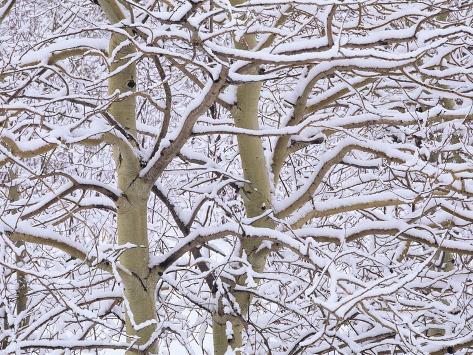 Trembling Aspens (populus Tremuloides) in Winter, Sudbury Ontario, Canada Photographic Print