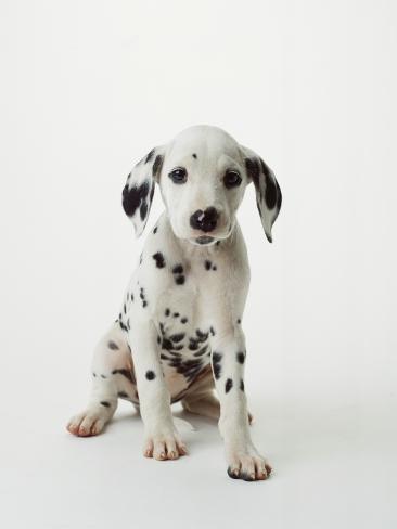 Dalmatian Puppy Photographic Print