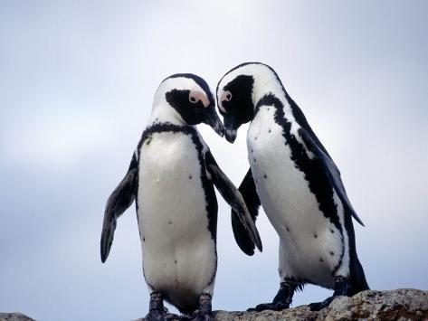 Jackass Penguins, South Africa Photographic Print