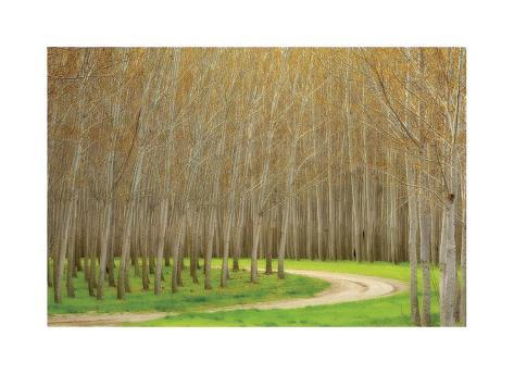 Poplar Trees and Road Giclée-vedos