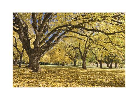 Stewart Park Walnut Trees I Giclée-vedos