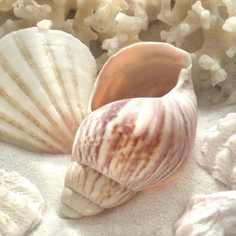 Coral Shell II Art Print