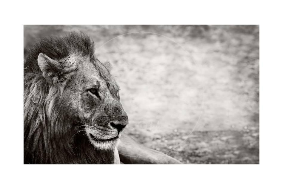 Lion Posters by Donvanstaden at AllPosters.com