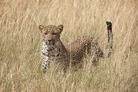 Panthera Pardus/African Leopard Photographic Print