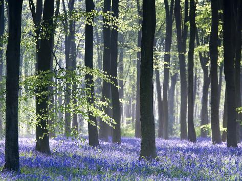 Bluebell Vision Photographic Print