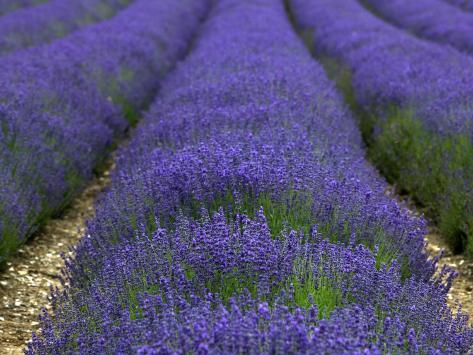 Lavender Fields. Photographic Print