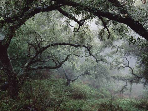 Oak Tree Forest after Storm Photographic Print