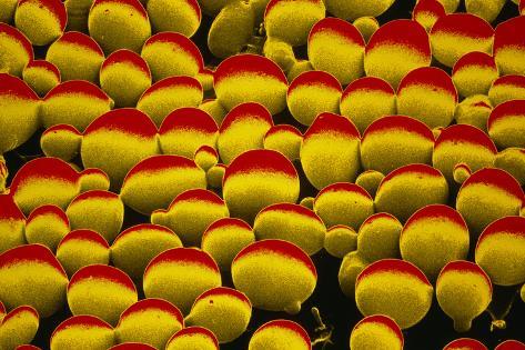 False-colour SEM of Yeast Cells Photographic Print