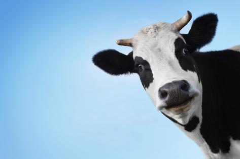 dudarev mikhailfunny smiling black and white funny smiling black and white cow on blue clear background voltagebd Images