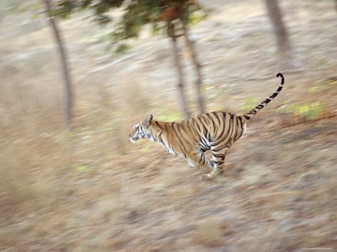 Bengal Tiger Running Through Grass, Bandhavgarh National Park India Photographic Print