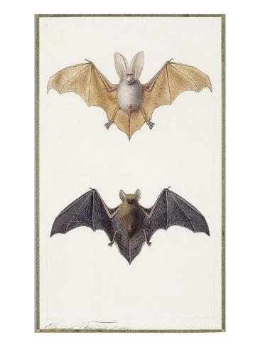 Long-Eared Bat and a Common Bat, 1834 Giclee Print