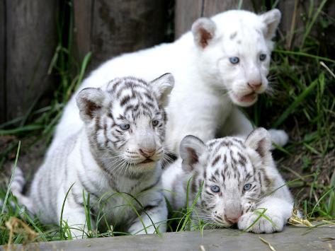 APTOPIX Argentina White Tigers Photographic Print