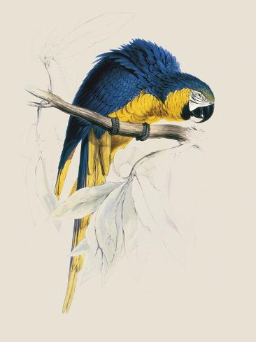 Blue and Yellow Maccaw Lámina giclée