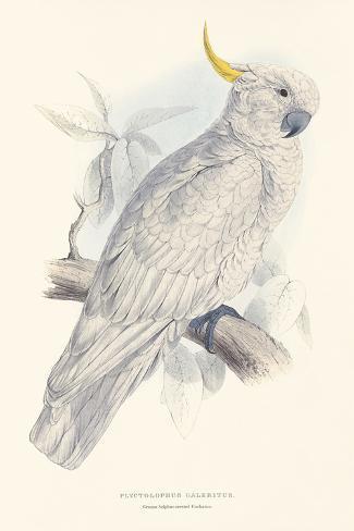 Greater Sulphur-Crested Cockatoo Lámina giclée