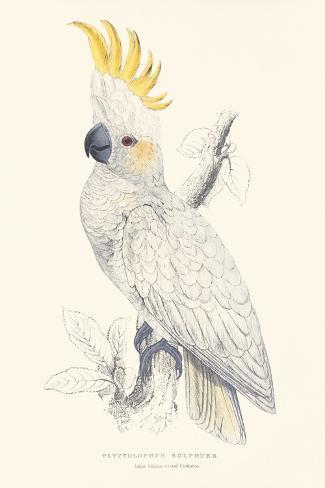 Lesser Sulphur-Crested Cockatoo Impressão giclée