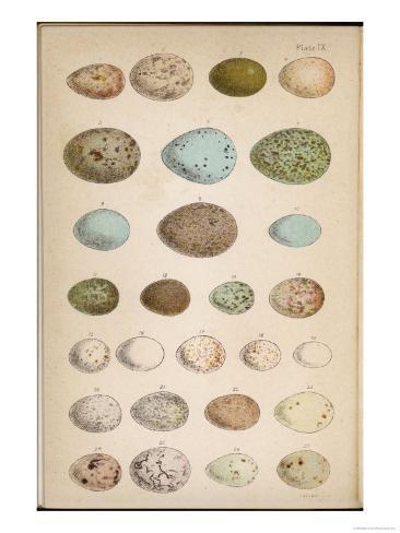 Eggs of Two Dozen Birds Giclee Print