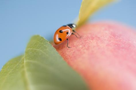 Ladybird on Apple with Leaves Photographic Print