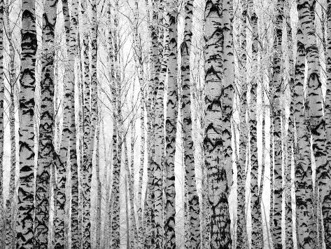 winter trunks birch trees photographic print by elena kovaleva at