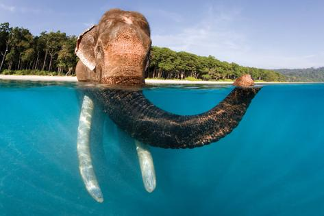 Elephant Swimming Poster